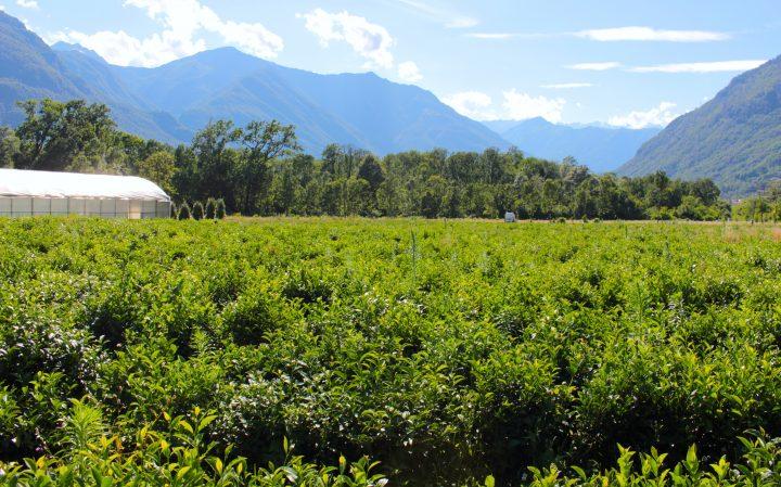 La compagnia del Lago e del tè